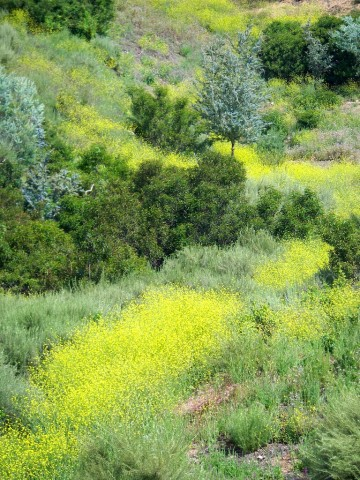 The colorful but non-native black mustard is among the species to be studied in long-term climate change project.