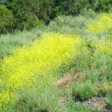 Black_Mustard_2_(4576020051)