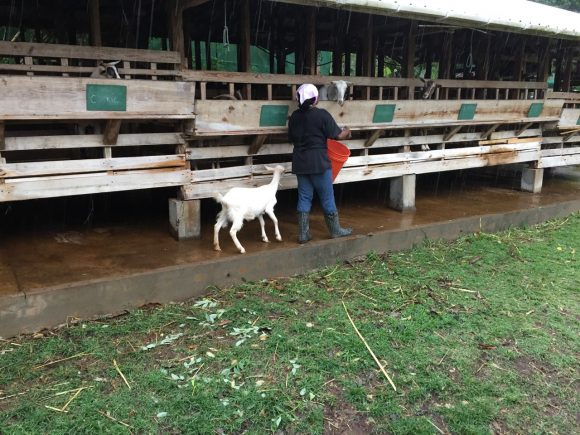 Dairy worker, assisted by young goat, feeds the animals