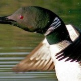 A Great Lakes Loon.