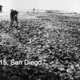 Field of Lobsters in San Diego