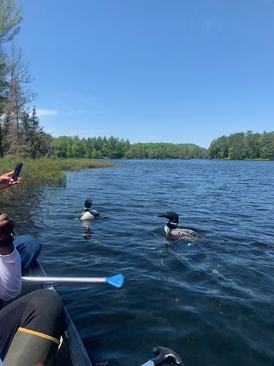 loon birds on lake