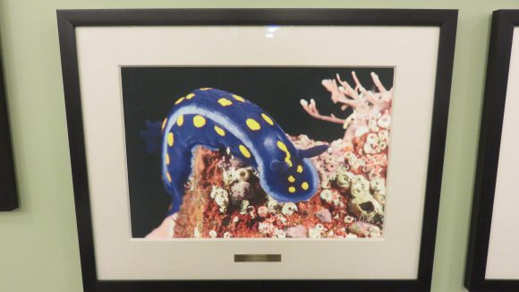 A framed photograph of a bright blue nudibranch.