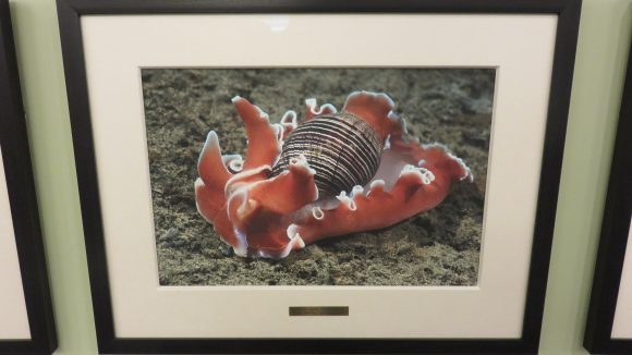 Framed photograph of an orange, black, and white nudibranch.