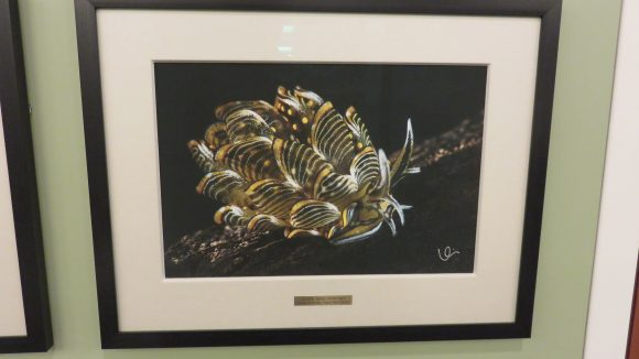 Framed photograph of a yellow, black, and white nudibranch.
